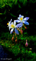 Intimate Stand of Columbines